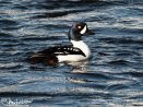 A male Barrow's Goldeneye - such an eye!
